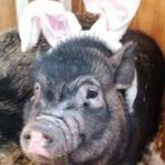 Easter Pigglet