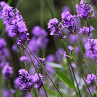 Healthy Plants: Lavender and Cats