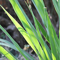 Healthy Plants: Lemongrass for Cats