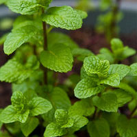 Healthy Plants: Mint for Cats