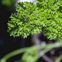 Healthy Plants: Parsley for Cats