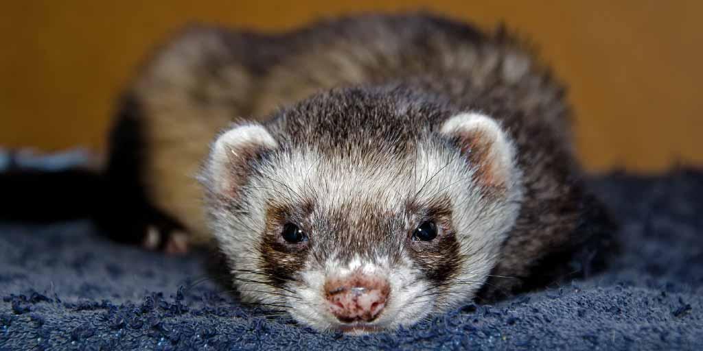 pet ferret adoption day